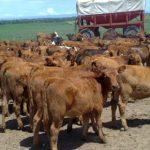 Bajan el peso mínimo de faena en bovinos